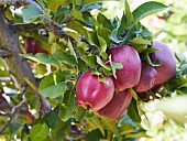 Gala apples on a tree (close-up)
