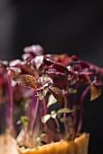 Rote Kresse (Close Up)