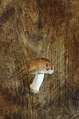 A brown mushroom