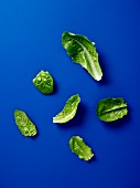 Cos lettuce leaves on a blue surface