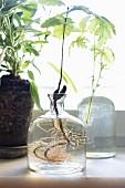 Grünpflanze mit Wurzel in Glasvase vor Fenster