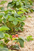 Strawberry plants in a strawberry field