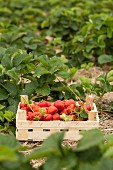 A wooden crates of freshly picked strawberries in a strawberry field