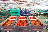 Quality-control workers checking tomatoes and packaging factory