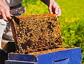 A beekeeper taking a honeycomb from a beehive