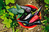 A bucket of peppers in a vegetable garden