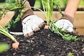 Frau pflanzt Karotte im Garten