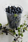 Fresh sloes in a measuring jug