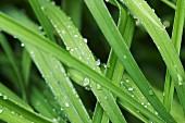 Wasserperlen auf grünen Pflanzenblättern