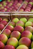 Frisch geerntete Äpfel in Obstkisten