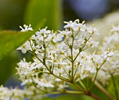 Elder flowers (close-up)