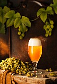 A freshly drawn beer in a glass on a wooden bench with hops and hops vines against a brown wooden wall