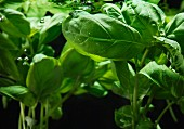 Fresh basil in cold water