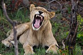 A yawning lion in the wild, Okavango Delta, Botswana