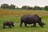 A rhino with her young in the wild, Okavango Delta, Botswana