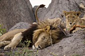 Lions sleeping in the wild, Okavango Delta, Botswana