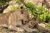 A lioness and a cub in the wild, Okavango Delta, Botswana