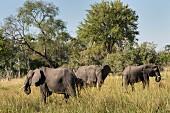 Elephants in the wild, Okavango Delta, Botswana