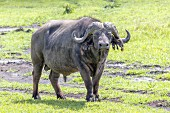 A buffalo in the Ngorongoro crater in the Serengeti, Tanzania, Africa
