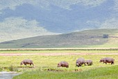 A herd of hippos in the Ngorongoro crater in the Serengeti, Tanzania, Africa