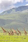 Giraffes in the Ngorongoro crater of the Serengeti, Tanzania, Africa