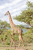A giraffe in the Ngorongoro crater in the Serengeti, Tanzania, Africa