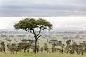 Ngorongoro Wildlife Reserve, Serengeti, Tanzania, Africa