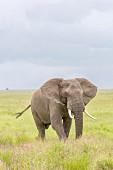 An elephant at the Serengeti Wildlife Reserve, Tanzania, Africa