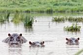 Hippos at the Serengeti Wildlife Reserve, Tanzania, Africa