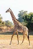 A giraffe in the wild, Zambia, Africa