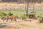 A leopard in the wild, Zambia, Africa