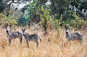 Zebras in the wild, Zambia, Africa