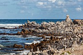 Penguins on the cape (Betty's Bay, South Africa)