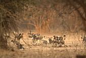 Ein Rudel afrikanische Wildhunde, Simbabwe, Afrika