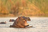 Flusspferde im Wasser, Afrika
