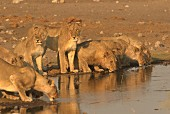 Lions drinking at a watering hole, Africa