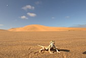 A desert lizard on the sand, Africa