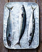Fresh mackerel on ice in a tray