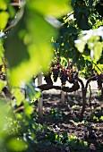 Nerello Mascalese grapes, Sicily, Italy