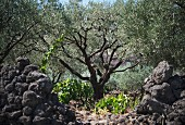 A tree at the Pietradolce vineyard, Sicily, Italy