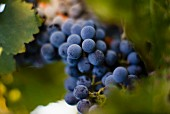 Blaue Trauben am Rebstock