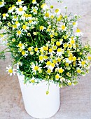 Freshly picked chamomile