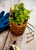 A parsley plant with gardening tools