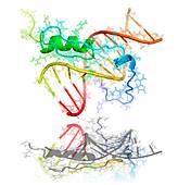 GAGA transcription factor molecule