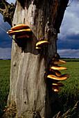 Bracket fungus growing on a tree trunk