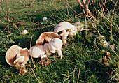Field mushrooms