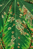 Leaf miner moth damage
