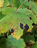 Acer tar spot on leaf