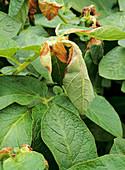 Damaged potato plants