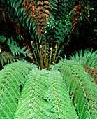 Tree fern in temperate rainforest
